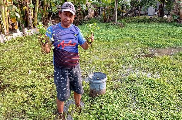 Semanggi Suroboyo panen daun semanggi